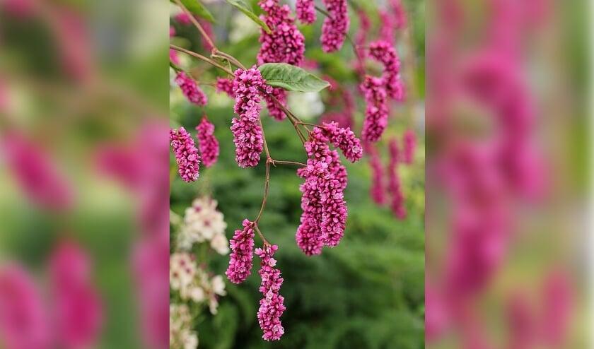 <p>Wilt u de naam van deze plant weten? Vraag het zondag aan Elly Roelvink en Lambertus Hoogeveen in Tuin Beckelo.</p>