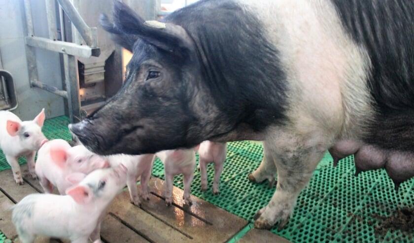 <p>De familie Brummelhuis fokt een zeldzaam ras varkens, waarvan er slechts 400 op de hele wereld zijn.</p>