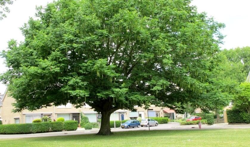 <p>Dit is de vredesboom van Almelo waar een herinneringsbordje wordt onthuld.</p>