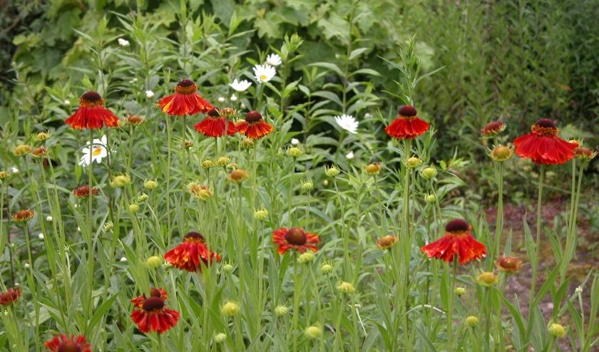 Helenium en margrieten zijn voorbeelden van zomerbloemen die zelf goed te kweken zijn met een zakje zaad.