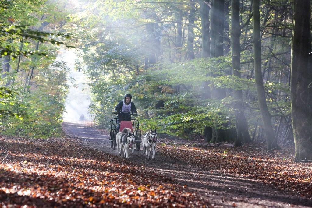 De Veldhovense bossen als schitterend decor voor NK Sledehonden.  © DPG Media