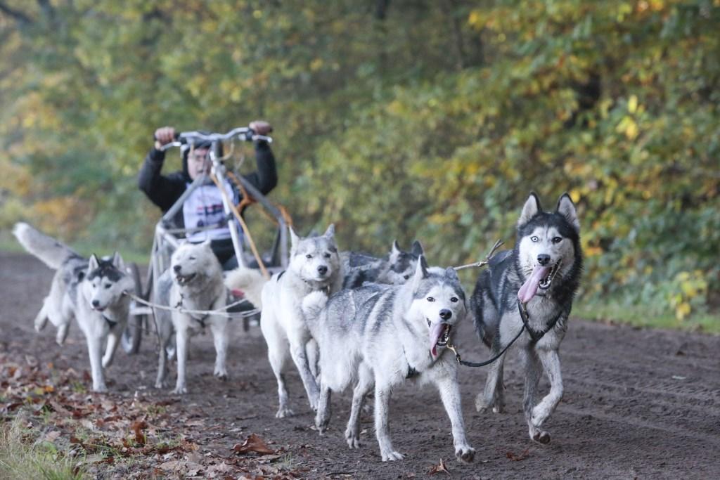Hondenrennen met 6 Husky's komt wel erg dicht bij het echte sledehondenrennen.  © DPG Media