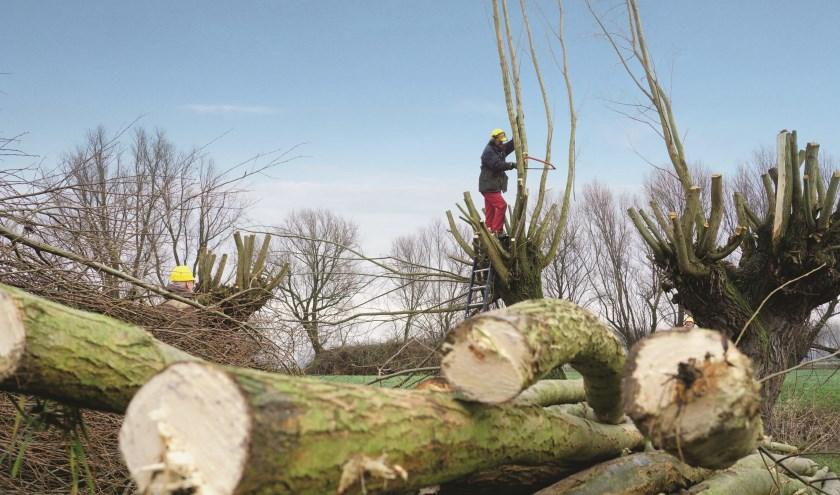 De lange takken worden eerst op een meter van de boom met de met de hand afgezaagd.De dikkere stukken hout worden daarna met een elektrische zaag gezaagd.Daarna wordt het hout gesorteerd en op grote stapels gelegd. FOTO: Ellis Plokker