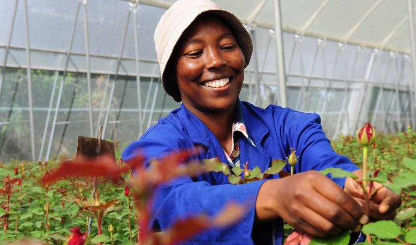 Kwekerij Bilashaka, waar fairtrade rozen gekweekt worden. FOTO: Marja Oudhuis
