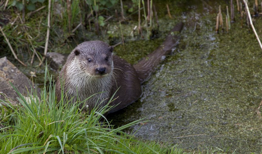 De otter in de Nieuwkoopse Plassen.
