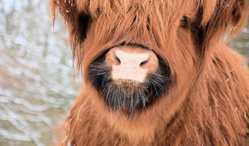 Schotse Hooglanders in het Hartelpark . j.l.zaterdag             Coby van Hespen Keplerlaan 61 3204 BJ Spijkenisse