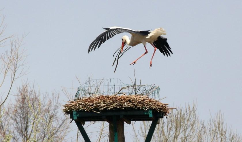 Ooievaar bouwt nest langs de Maaswijkweg in Spijkenisse. Foto: Henny Brouwers