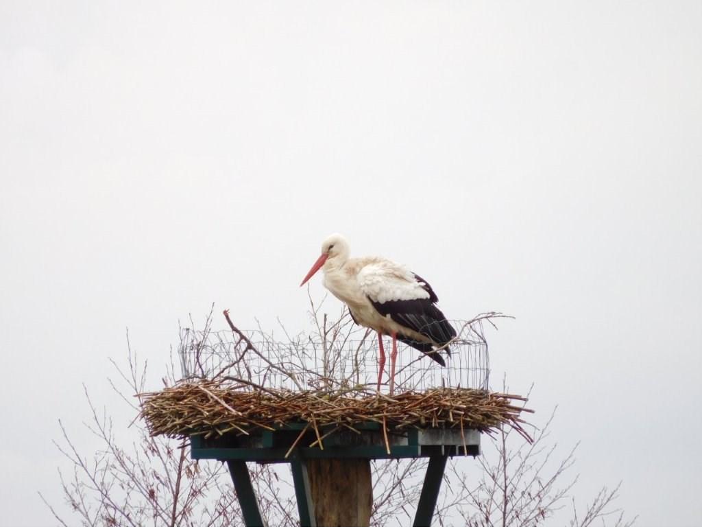 Ooievaar op zijn nest. Foto: Johan van den Berg Foto: Johan van den Berg © DPG Media