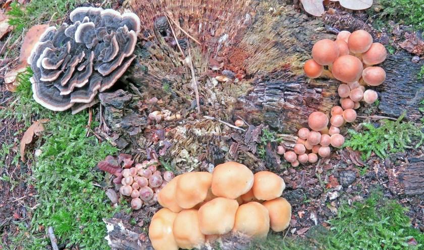 Op één dode stronk kunnen veel verschillende schimmels en paddenstoelen leven. (Foto: Margriet Spanjaard).