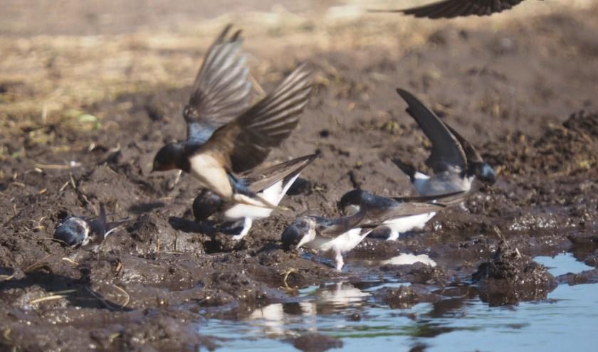 Bijschrift foto:Een klein modderplaatsje in de buurt van het erf helpt zwaluwen aan hun benodigde bouwmateriaal. Goed te realiseren bij een koepad of drinkplaats.