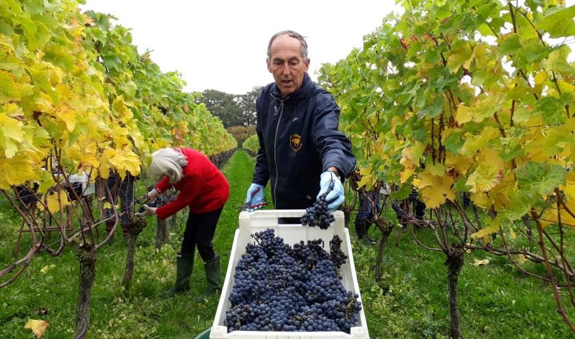 """Ronald van Riesen legt een goede tros druiven in het kratje. """"In de buitenlucht zijn is zo heerlijk."""" (foto: Ceciel Bremer)"""