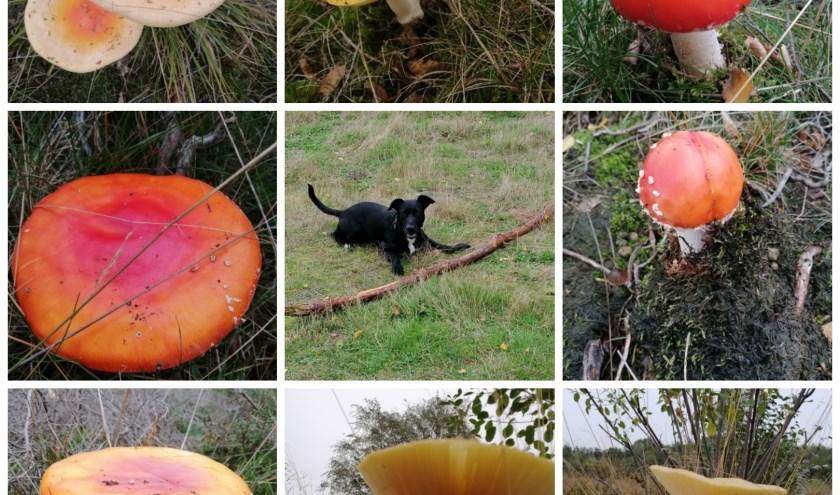 Paddestoelen groevenbeekse heide en hond buddy