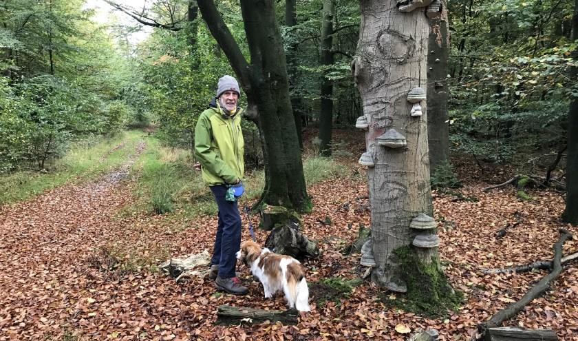 Samen met hond Bente loopt Hans van den Breul dagelijks door het bos. Als Gildegids neemt hij vaak groepen belangstellenden mee op pad. Op de dode beuk een grote hoeveelheid tondelzwammen.