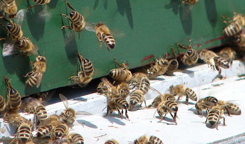 Drukte aan het vlieggat zegt veel over wat er binnen in de bijenkast plaatsvindt.