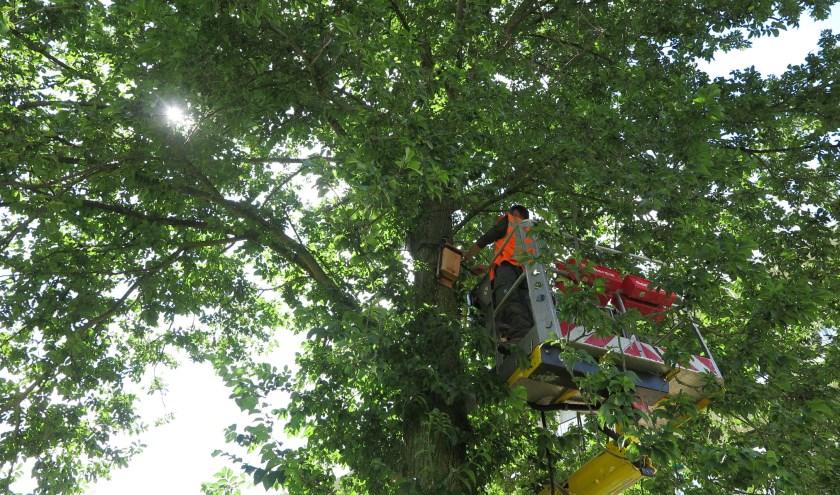 Havensteder hangt nestkasten op voor vleermuizen in Capelse bomen. Door het isoleren van woningen verdwijnen hun zomerverblijven.