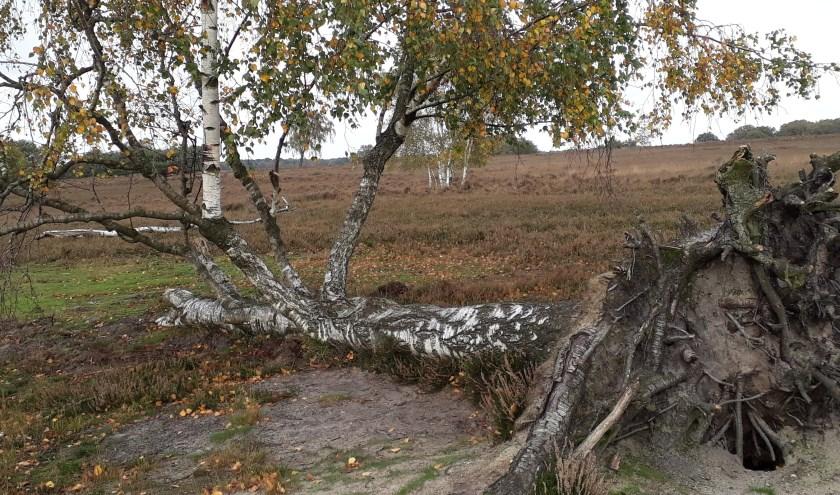 Omgevallen boom die leeft!