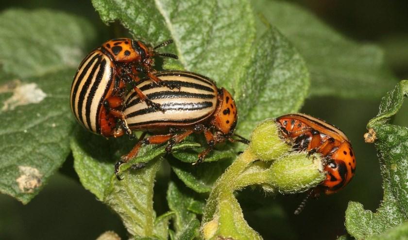 Coloradokevers in actie. Foto: Pieter van Breugel