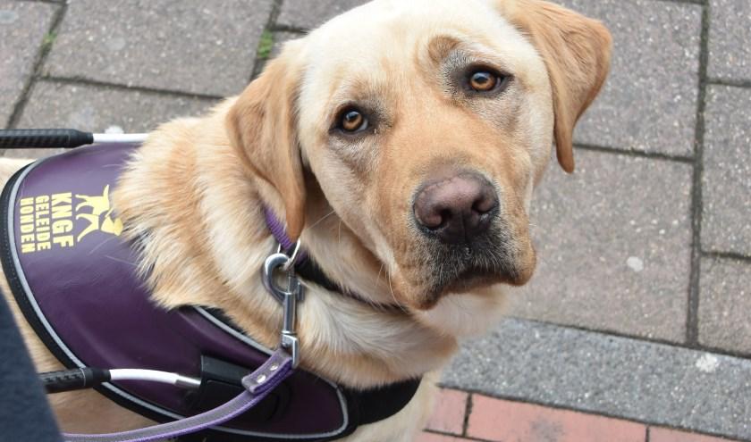 KNGF Geleidehonden wilzoveel mogelijkmensen een beter leven geven (Foto: KNGF Geleidehonden).