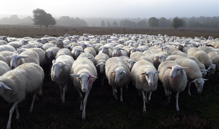 Oog in oog met de schapen.