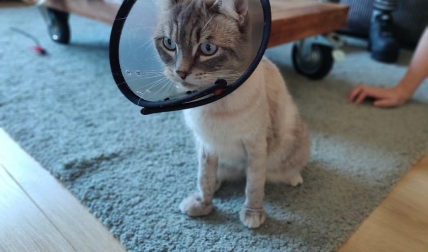 De Kapitein moet zes weken revalideren en kan daarna weer een normaal kattenleven kan leiden.