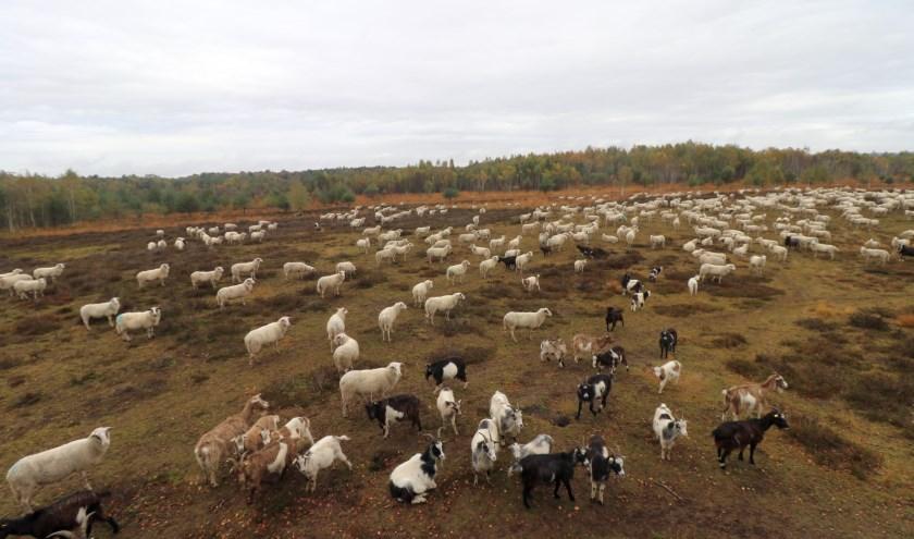 Eddy Oude Voshaar komt op zijn wandeling door het Gildehauser Venn honderden schapen tegen. Dat levert een prachtig gezicht op.