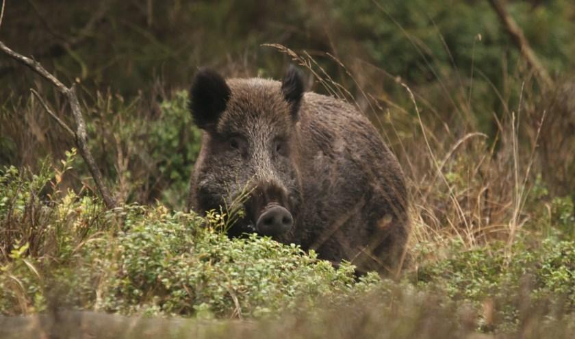 Vanuit een wildobservatiepunt in een rustgebied wordt het wild bekeken. (Foto: Vemdefoto)