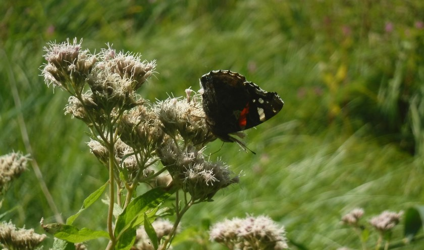 Vlinder in Proeftuin BuitenZinnig.