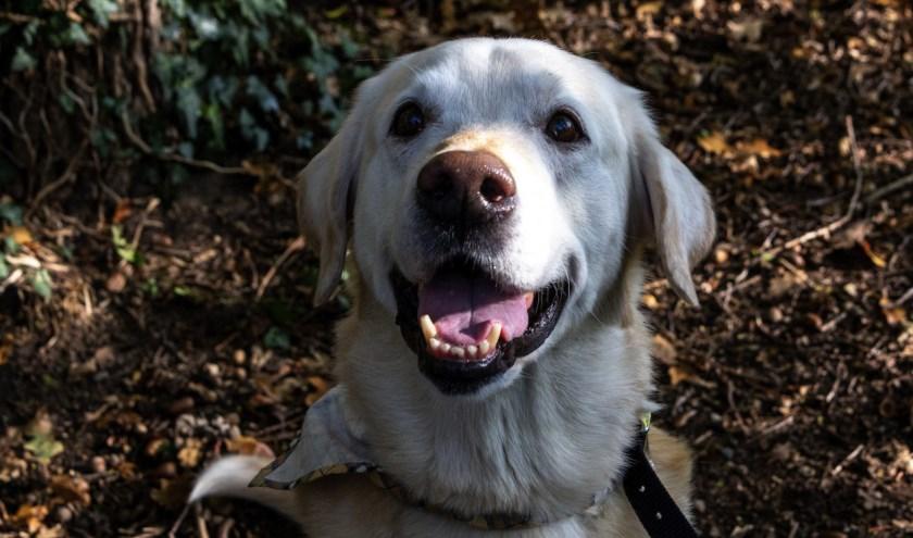 Blonde labrador Silly zoekt een liefdevol, niet te druk huishouden. Foto: Dierenbescherming.