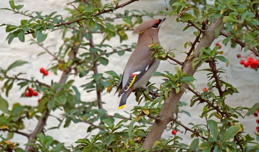 Pestvogel op bessenstruik aan de Lange Haven.