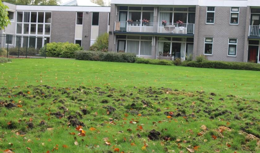 Wilde zwijnen hebben ook het gazon van zorgcentrum Rehoboth naast het Stationspark inmiddels ontdekt.