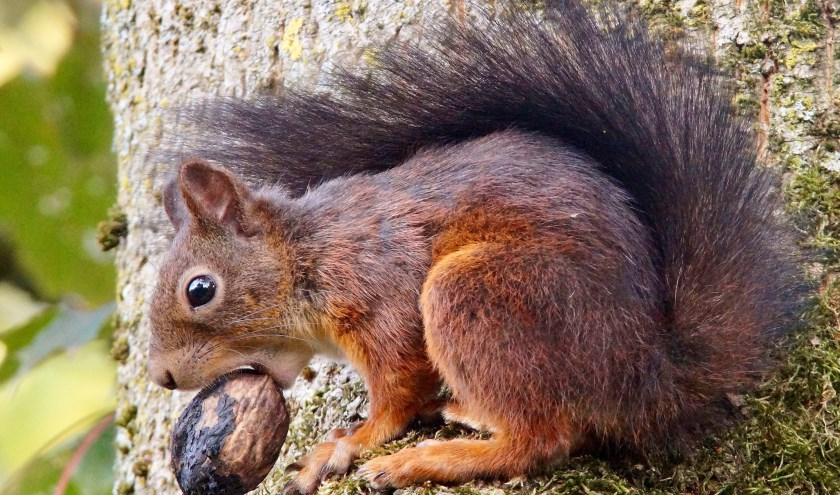 De eekhoorn is dol op noten en komt ze graag halen bij mensen uit de tuin of van het terras. FOTO: Gerard Lijten