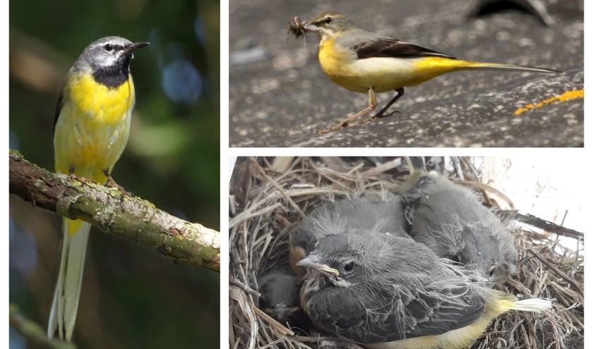 Het nest zat op een raamkozijn in een open schuur. Links het mannetje, rechts het vrouwtje. Polder Beneden-Haastrecht (Foto's: Erik Kleyheeg).