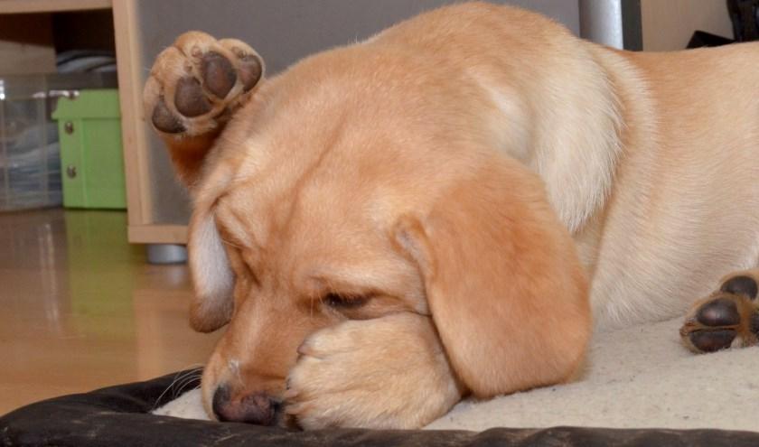 Tachtig procent van de honden heeft last van vuurwerk tijdens oud en nieuw. Foto: Marianka Peters