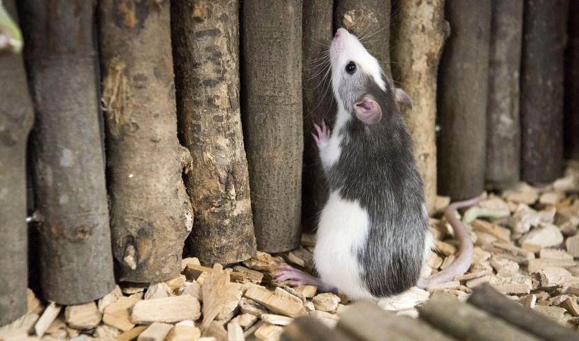 Volgens de Chinese Kalender is 2020 het Jaar van de Rat. Ratten worden slim en charmant genoemd. (foto: Ellen Koelewijn)