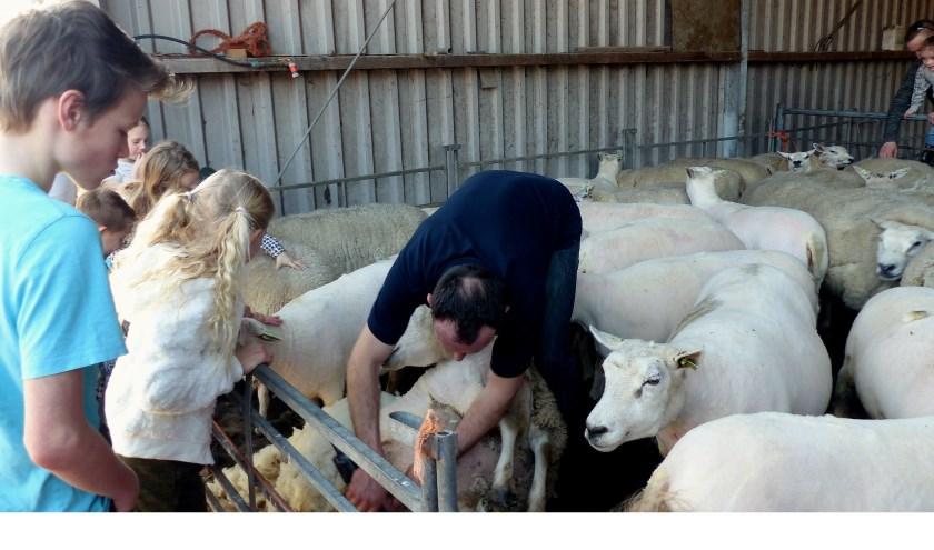 Schapen scheren Melkveebedrijf van Leeuwen in Heenvliet. Foto: Roel van Deusen