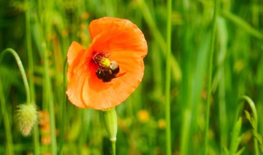 Mensen kunnen zelf ook genoeg doen om de insecten een handje te helpen, zoals het planten van insectvriendelijke bloemen in de tuin. Foto: Jolien van Gaalen.
