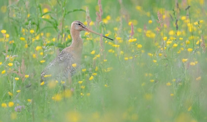 Grutto - Weidevogel in Midden-Delfland