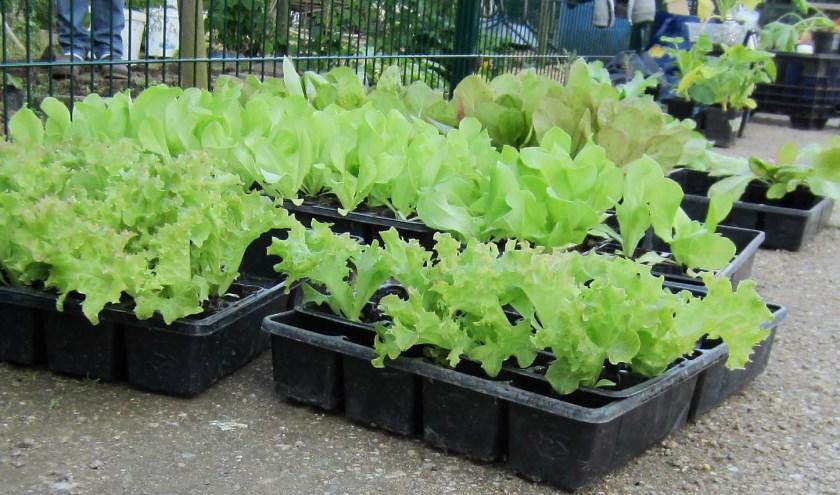 Stekken van oa Sla-planten