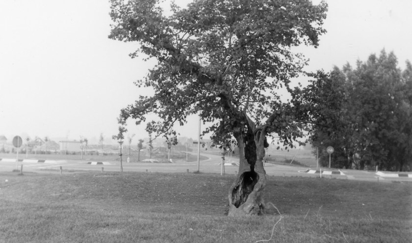 De oeroude Koningslinde langs de Munnikensteeg in de jaren tachtig. Op de achtergrond het kruispunt met de Lindeweg. (FOTO: Collectie HVZ)
