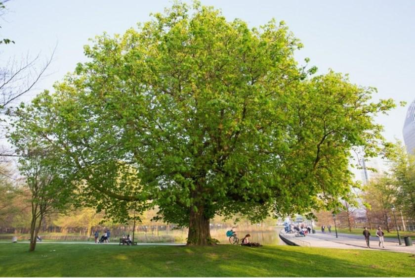 De Koekamp Kastanje bleek verleden jaar de mooiste boom van Den Haag. De Troeteleik bij Ulvenhout won de landelijke verkiezing.