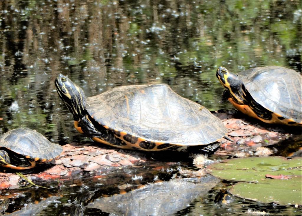 De schildpadden van de Kogelvanger Foto: Paul Hermans © DPG Media