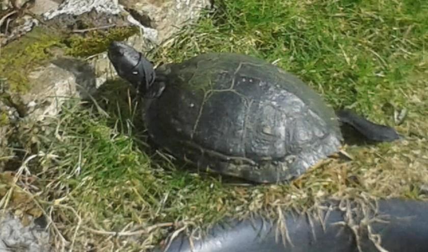 Schildpad Lizzy ontsnapte door een gat in de schutting en werd voor het laatst gezien aan de Oostweg. Haar baasje Anne-marie vraagt mensen op Facebook haar opsporingsbericht te delen.