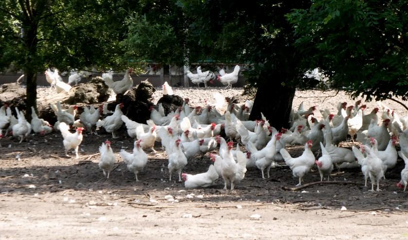 Ook deze vrije uitloop kippen hebben last van de warmte. Schaduw zoeken onder de bomen.