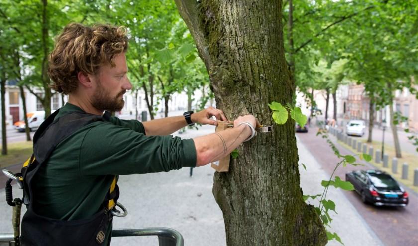 Rosko plaatst de zakjes met larven aan een linde op het Lange Voorhout.