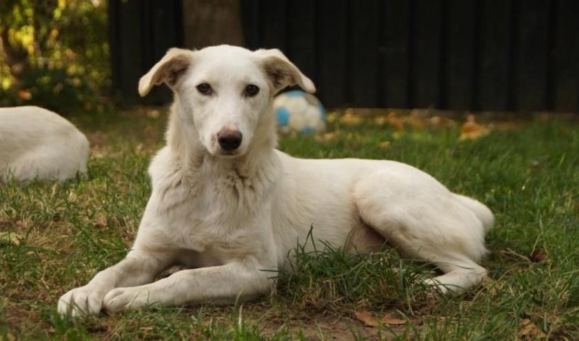 Elke week zet Dierenopvangtehuis De Bommelerwaard een dier in het zonnetje. Deze week is dat wederom Bianca. Kijk voor meer informatie op www.dierenasiel-bommelerwaard.nl.