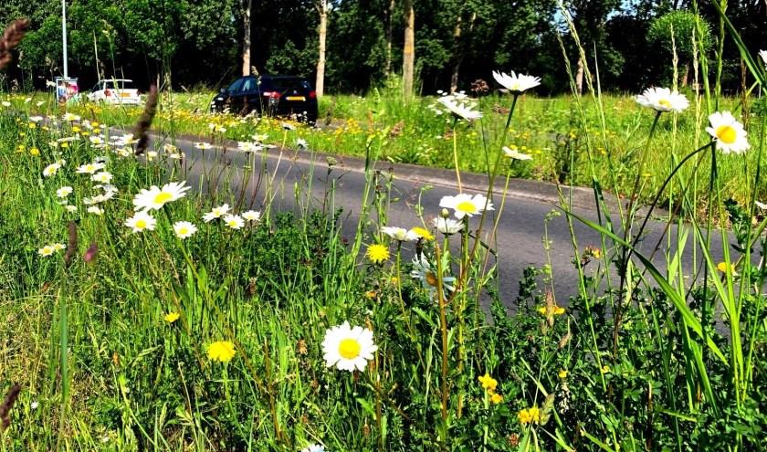 Terugdringen van het gras in wegbermen, geeft kansen voor allerlei kruiden en bloeiende planten. FOTO: Rien de Schipper