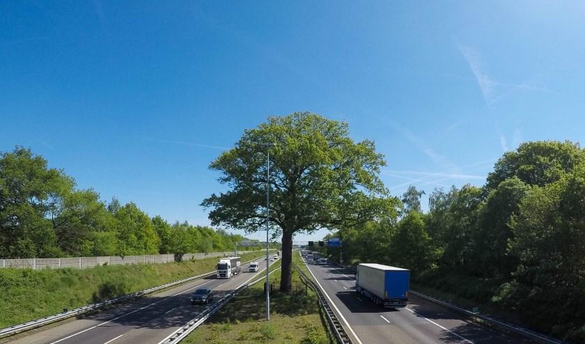De Troeteleik staat in de middenberm van A58 bij Ulvenhout en is zo'n 180 jaar oud. FOTO: PR