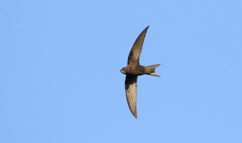 Gierzwaluwen brengen maanden vliegend in de lucht door. Alleen om hun eieren uit te broeden moeten ze landen. (FOTO: Jacob Molenaar)
