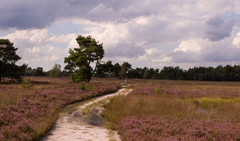 De Tongerense Heide staat momenteel in bloei. De boswachters van Geldersch Landschap & Kasteelen houden er donderdag 15 augustus een wandeling. (foto: Arie de Knegt)