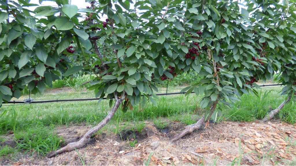 Bij het Ufo-systeem groeien de bomen 'scheef' en 'plat', voor het beste resultaat.  © DPG Media